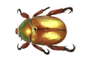 king%20beetle%20Anoplognathus%20viridiaeneus%20dorsal_big
